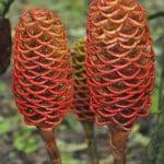 Ginger flower in Costa Rica